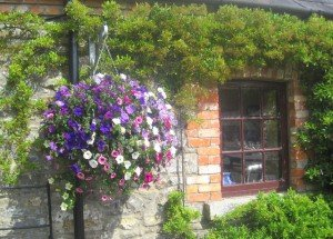 Purple pink and white flower basket hanging by a window in Ireland