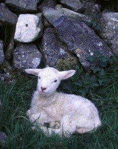 A small Irish lamb lying beside an Irish stone wall and nettles