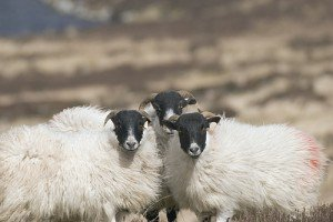 Three black faced sheep standing together