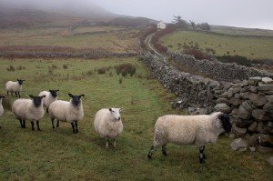 An Irish boreen with stone walls and a flock of sheep standing by the wall
