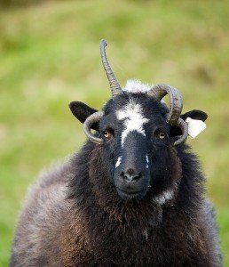 A black sheep with one horn growing up and another pointing down