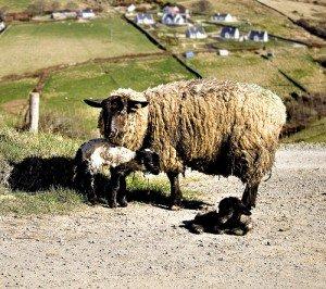 A muddy Irish sheep with twin baby lambs