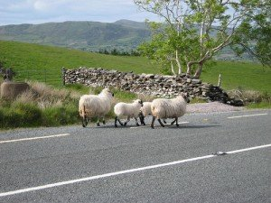 Four sheep walking on an Irish road beside a stone wall