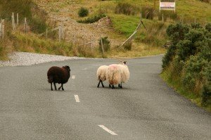 Two white sheep followed by a black sheep crossing a road in Ireland