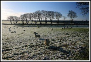 The frosty fields of Athenry with a flock of sheep in Galway Ireland