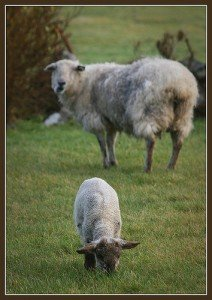A mother sheep watches her lamb from a distance
