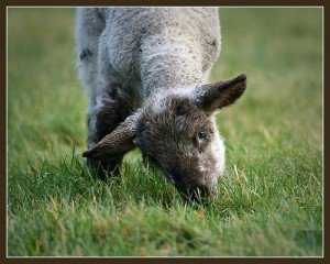 Lamb Eating Grass