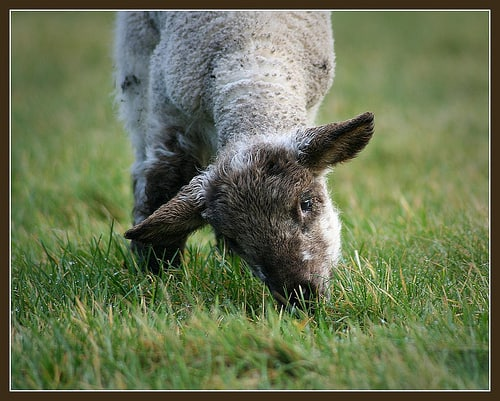 A small lamb eating grass in an Irish field