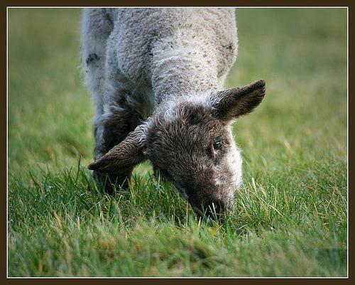 Irish Sheep And Lambs