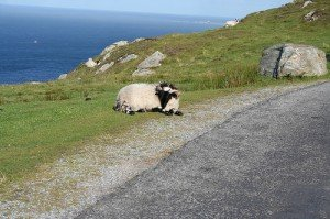 A large Irish ram on the side of the road along the Irish coastline