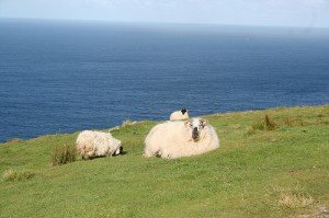 A sheep lying in a field on the edge of the coast in Donegal Ireland