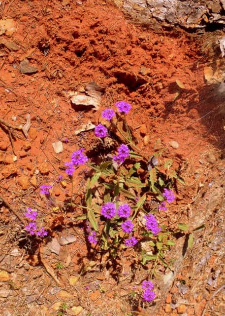 Purple flowers growing in red clay