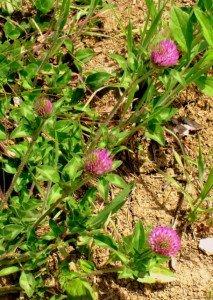 Purple flowers growing in the wild in Kentucky