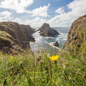 A yellow dandelion growing above a steep cliff over the ocean