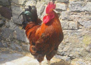 An Irish Rooster