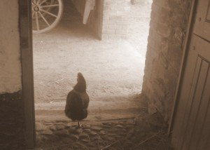 A sepia photo of a hen wandering out of a shed