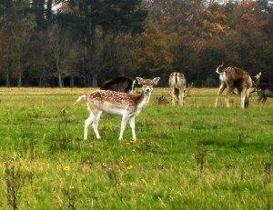 A herd of deer grazing in the Phoenix Park Dublin
