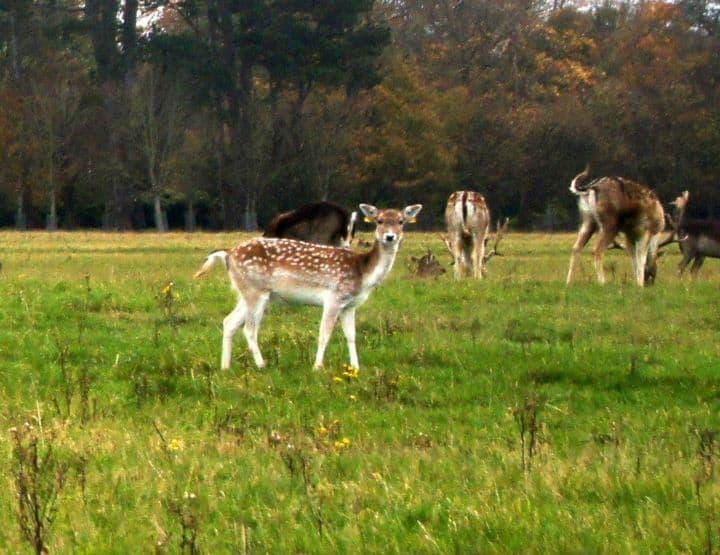 http://commons.wikimedia.org/wiki/File:Deer_at_phoenix_park.jpg