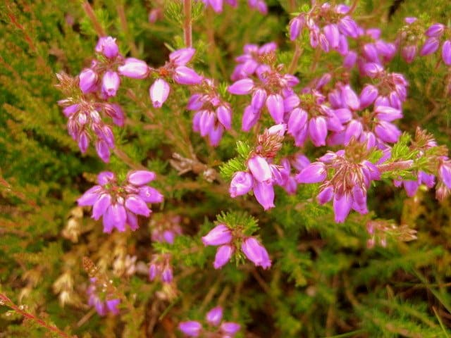 Close up view of purple heather flowers