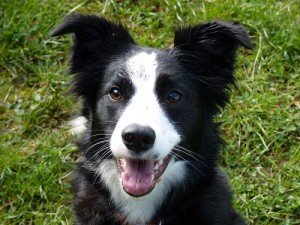 A border collie with black eyes and a white snout
