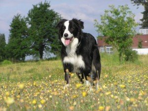 A black and white border collie stands in a field of yellow flowers