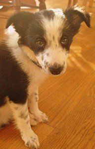 A border collie puppy with black spots on white patches