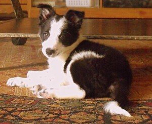 A black and white border collie puppy lying on carpet