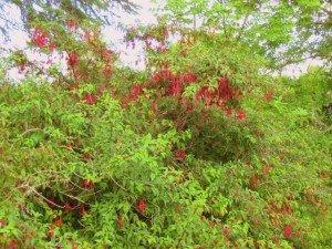 Red flowered fuchsia growing in an Irish hedgerow