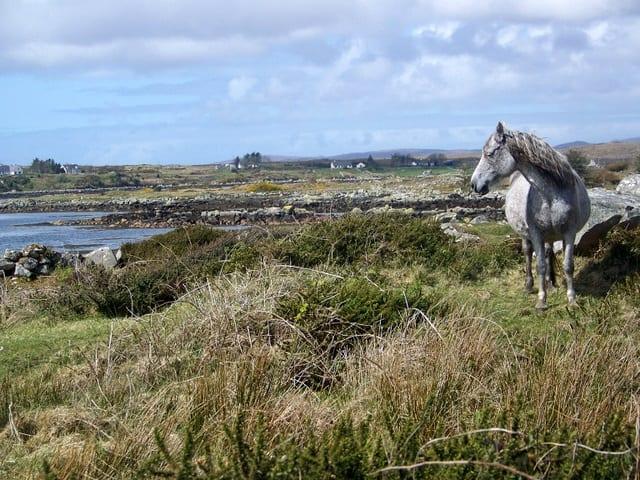 A grey Connemara pony in a field by the Irish coast