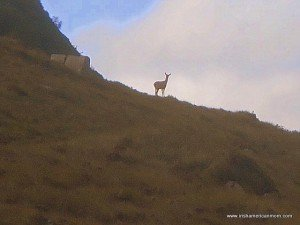 A deer on a mountain side in County Donegal
