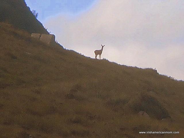 A deer on a mountain side