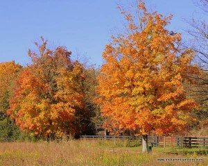 Golden leaves in Anchorage Trail Kentucky
