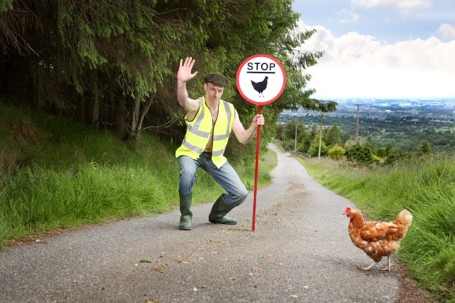 Chicken road crossing with an Irish farmer