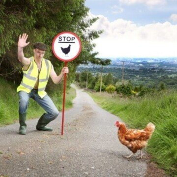 Chicken crosses a country road as a man holds a stop sign
