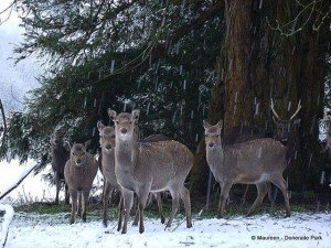 A herd of deer shelter under trees in a snow shower in Doneraile Park County Cork