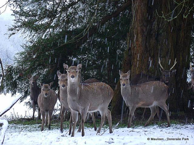 A herd of deer shelter under trees in a snow shower