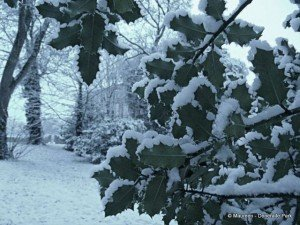 Holly leaves in the wild with snow