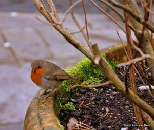 a small Irish robin sitting on the side of a planter