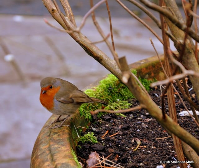 Irish Robin On A Planter