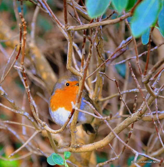 a red breasted Irish robin on a branch