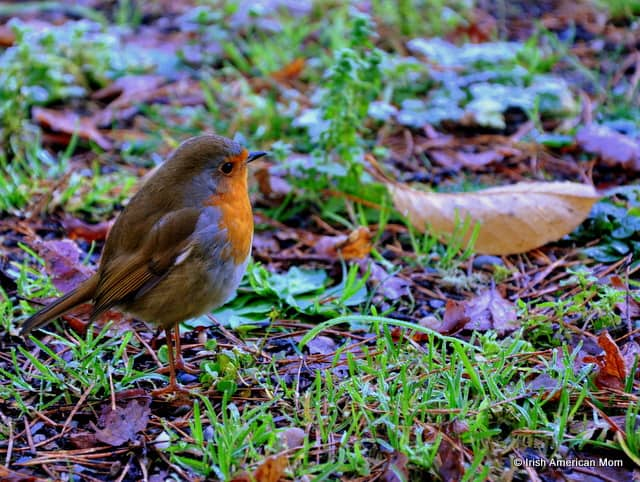 A red robin standing in the grass by a leaf