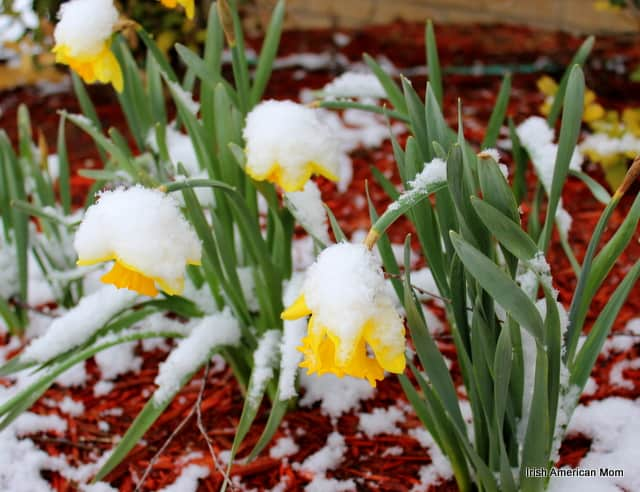 daffodils droop under the weight of spring snow