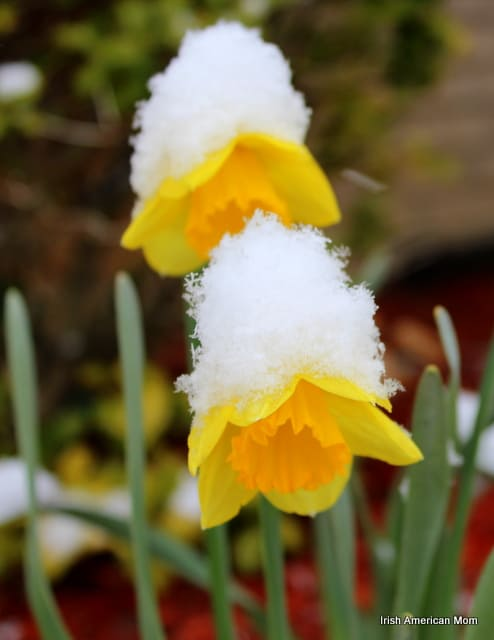 Daffodils topped with spring snow