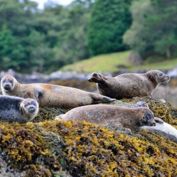 Seals on rocks covered in seaweed