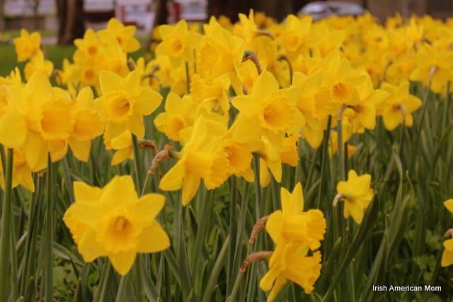Maytime Daffodils In Raheny