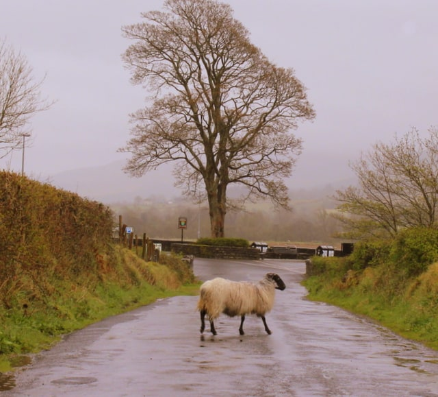 Sheep On Road To Glencar Waterfall