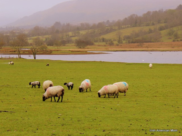 Sheep By Glencar Lake