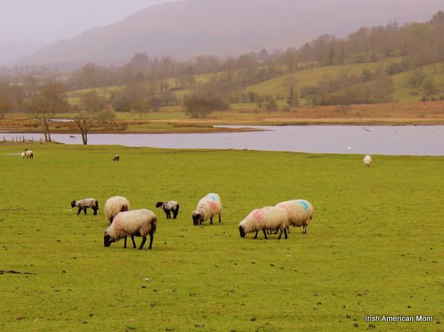Sheep By Glencar Lake