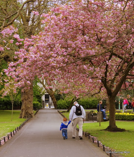Grandfather and child walk under the cherry blossoms in Dublin Ireland