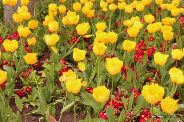 Yellow Tulips In St. Stephen's Green